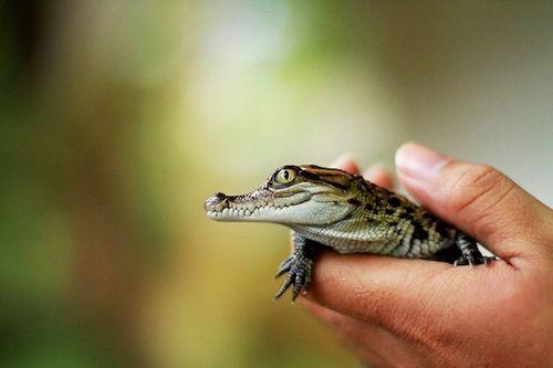 Crocodile-hand-110901