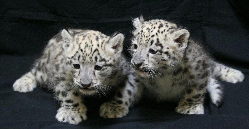 ABQ_Snow_Leopards_3