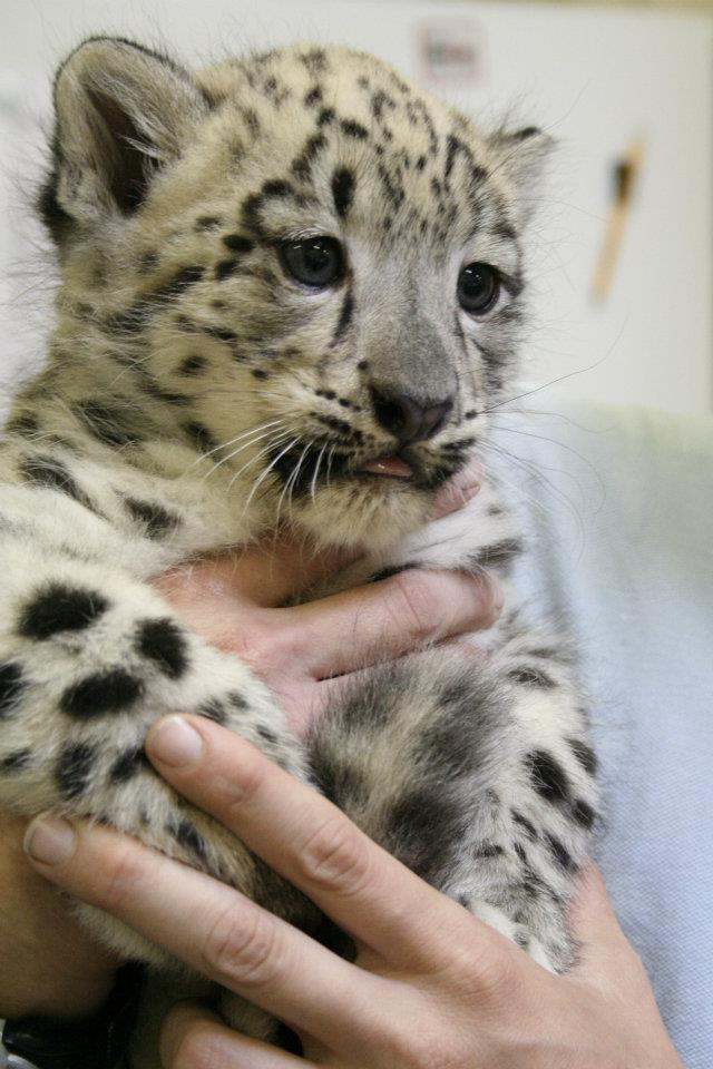 ABQ_Snow_Leopards_5