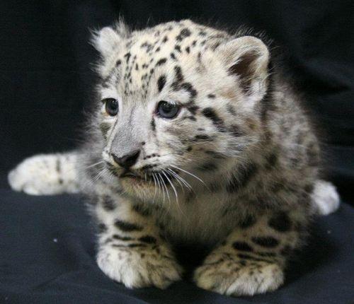 ABQ_Snow_Leopards_7