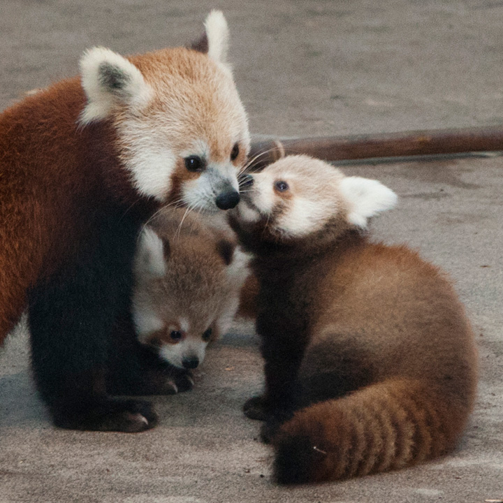 National-Zoo-Red-Panda-Cubs-12a