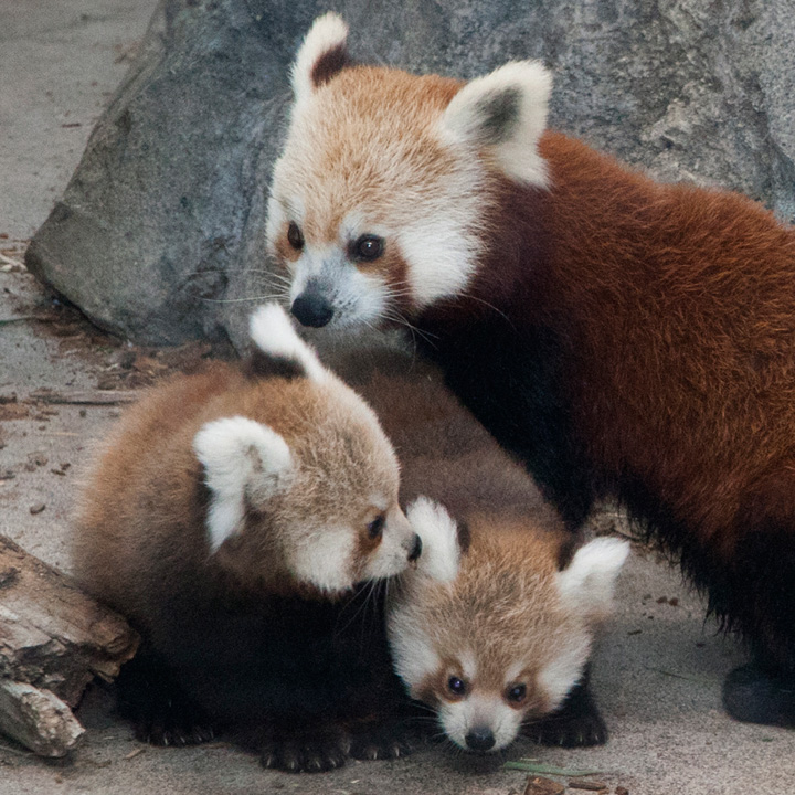 National-Zoo-Red-Panda-Cubs-13a
