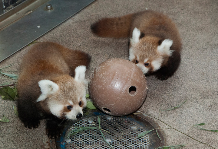 National-Zoo-Red-Panda-Cubs-11