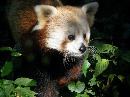 Red_Panda_1