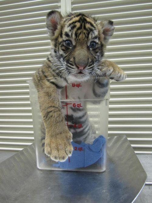 Tiger_Cubs2