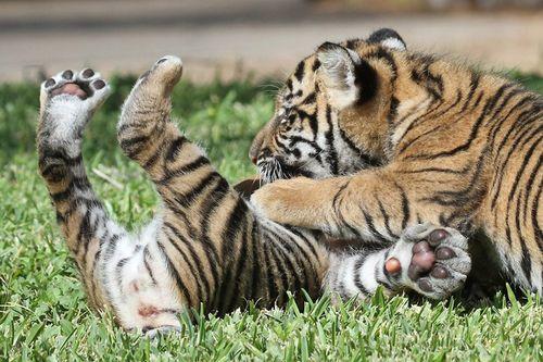 Tiger_Cubs