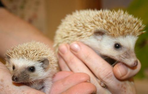 Hedgehog mum and baby720