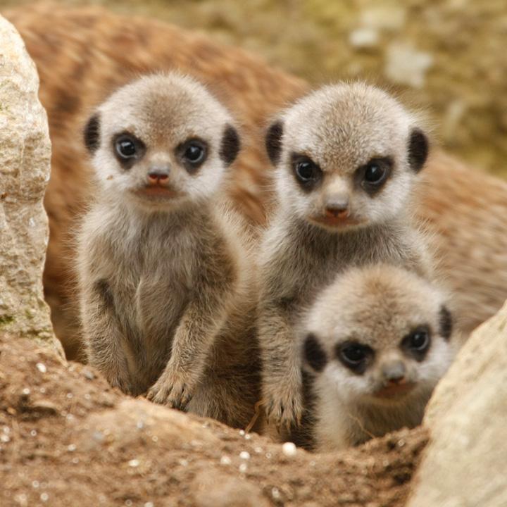 Marwell-Meerkats-3