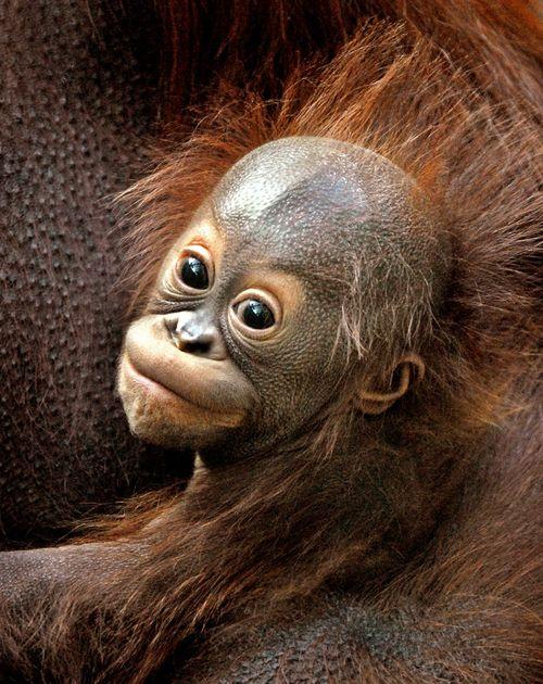 Baby-Orangutan-10-21-11_Tad-Motoyama-7181