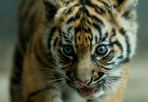 Tiger CU