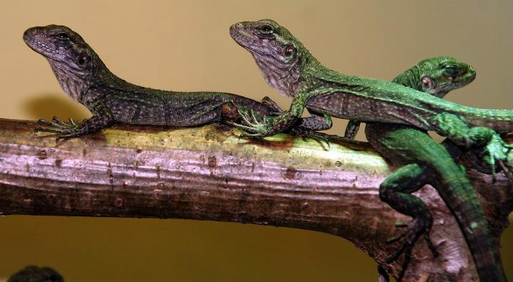 Utila Island iguanas by Adam Davis
