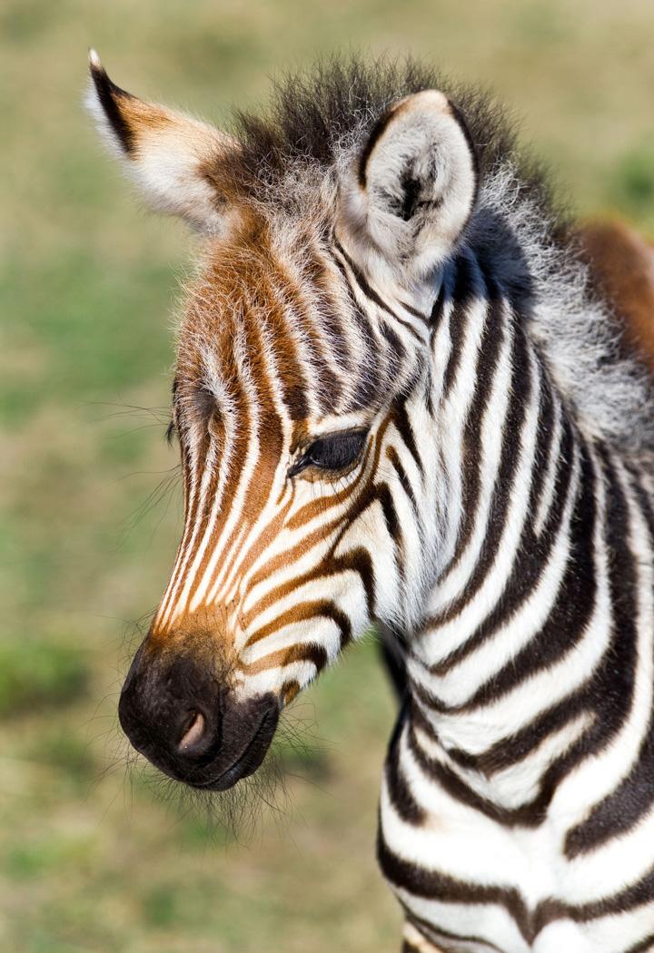 BGT-Baby-Grevy's-Zebra-5