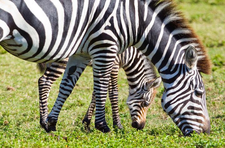 BGT-Baby-Grevy's-Zebra-7