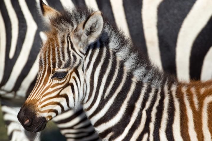 BGT-Baby-Grevy's-Zebra-6