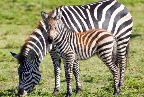 BGT-Baby-Grevy's-Zebra-4