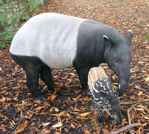 Baby_tapir2.2