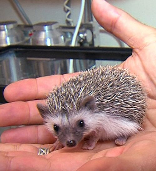 Baby-Hedgehog-2