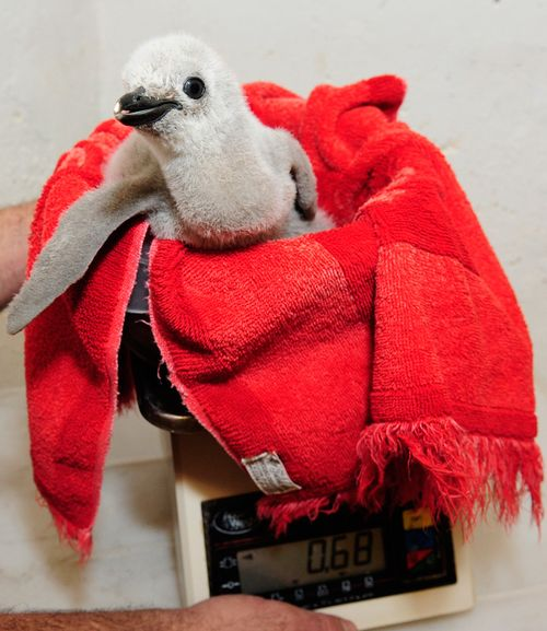Julie-Larsen-Maher-4895-Chinstrap-and-Gentoo-Penguin-Chicks-CPZ-07-26-11