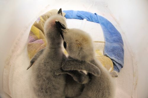Julie-Larsen-Maher-4668-Chinstrap-and-Gentoo-Penguin-Chicks-CPZ-07-26-11