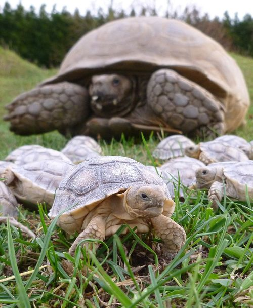 Sulcata-hatchlings-Linton-Zoo-(11)