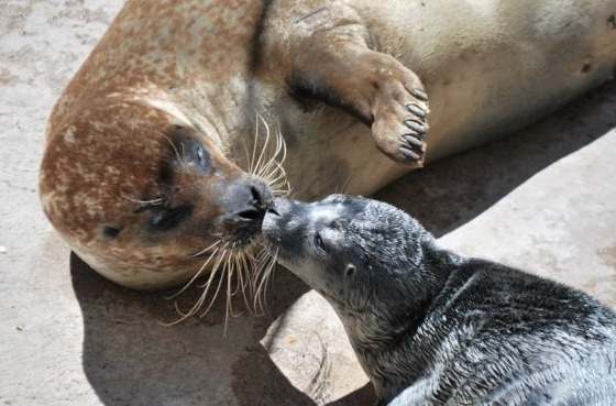 Harbor Seal Pup and Mom Kiss at Albuquerque Zoo