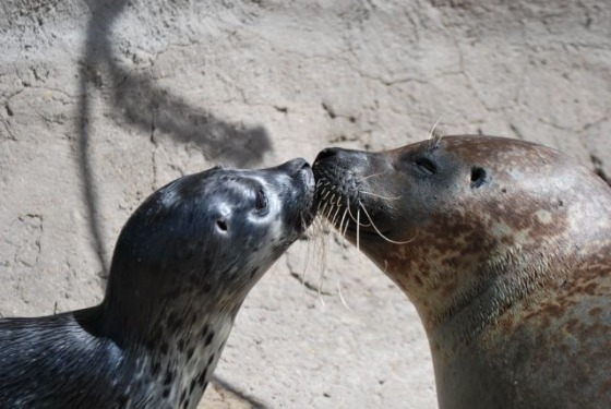 Harbor Seal Pup and Mom Kiss at Albuquerque Zoo 2