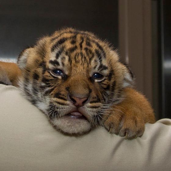 San-Diego-Zoo-Malayan-Tiger-Cubs-1