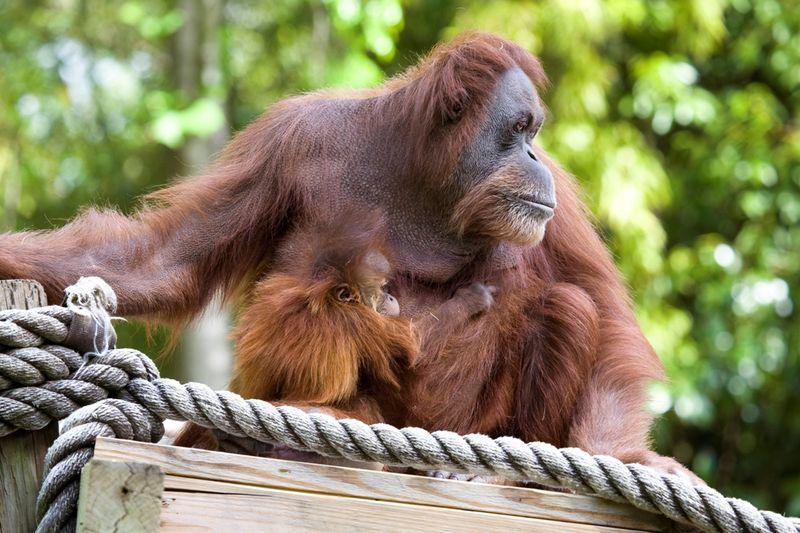 Orangutan_madu_remy_041411_ZA_5072.jpg - 1