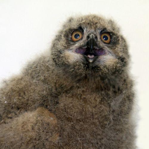 CINCINNATI EAGLE OWL 1