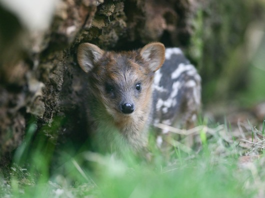 Pequeño, the Southern pudu baby at Belfast Zoo 2