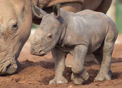Monarto-Rhino-2