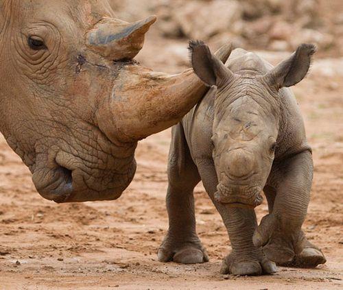 Monarto-Rhino-8