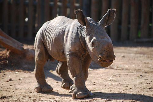Monarto-Rhino-1