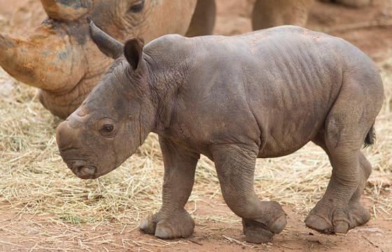Monarto-Rhino-5