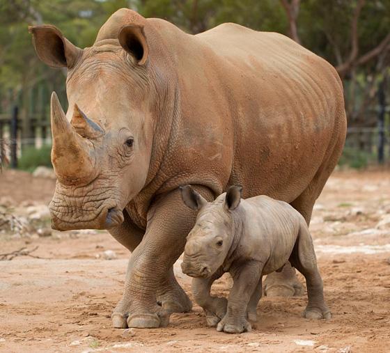 Monarto-Rhino-9