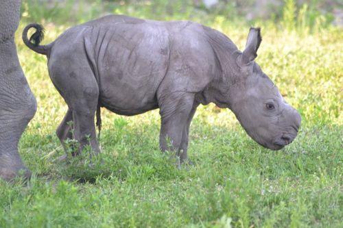 Rhino Calf Lion Country Safari 3