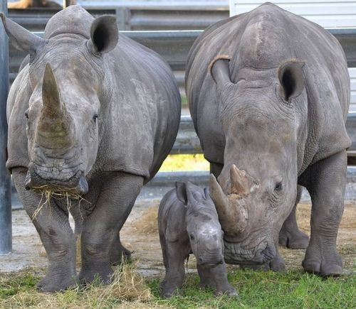 Baby Rhino and Parents