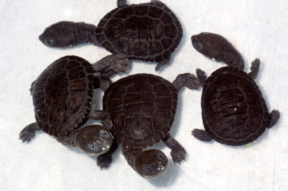 Snake_n_turtle_hatchlings_0081l_dp