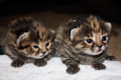 Cleveland-black-footed-kittens-1