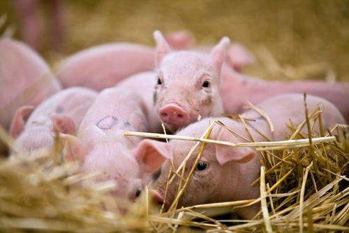 LPZoo-piglets
