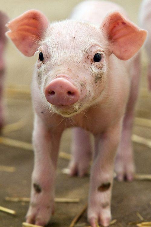 LPZoo-piglets3