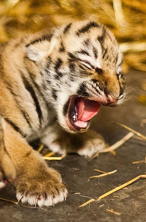 Rosamund-Gifford-Tiger-Triplets-3