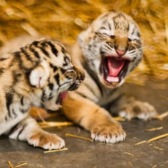 Rosamund-Gifford-Tiger-Triplets-2