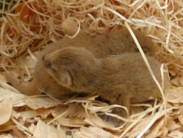 Yellow Mongoose Pups Durrell 3