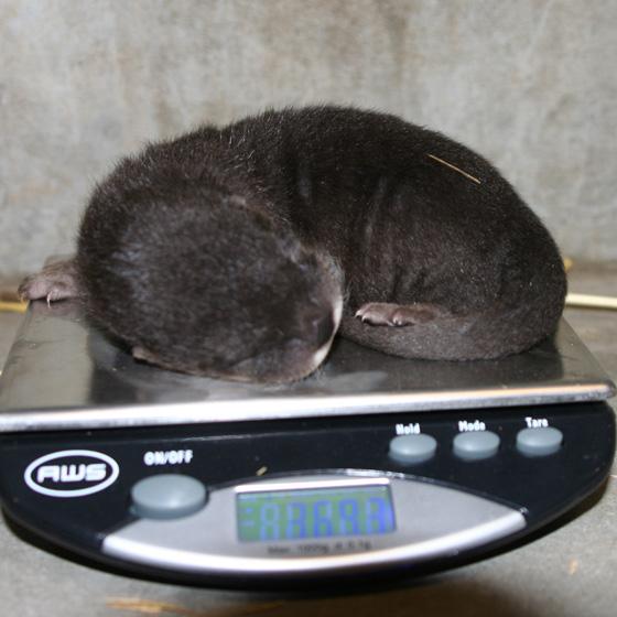 Oakland-Otter-Pups-4