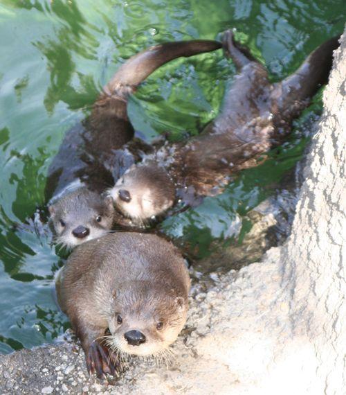 Oakland-Otter-Pups-6