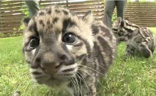 Clouded Leopard cub up close at Nashville Zoo