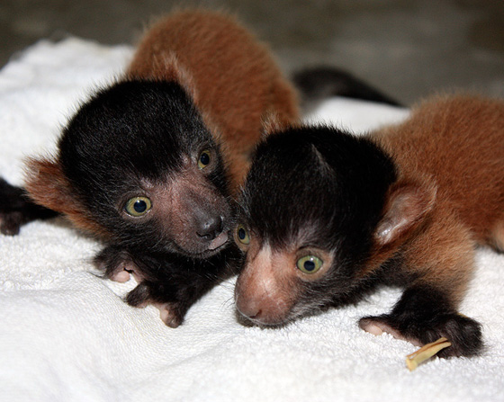 Cleveland-red-ruffed-lemurs-3