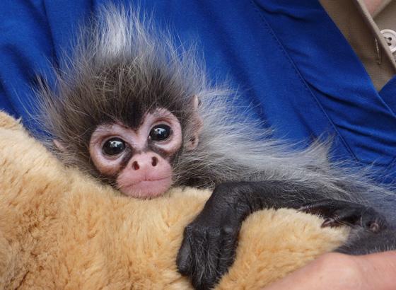 Meet Estela The Hand Reared Baby Spider Monkey Zooborns