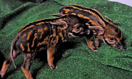 Bioparc Valencia - crías potamoquero